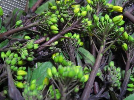 紅菜苔2013_1.jpg