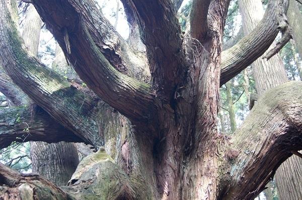 高森殿の杉11.JPG
