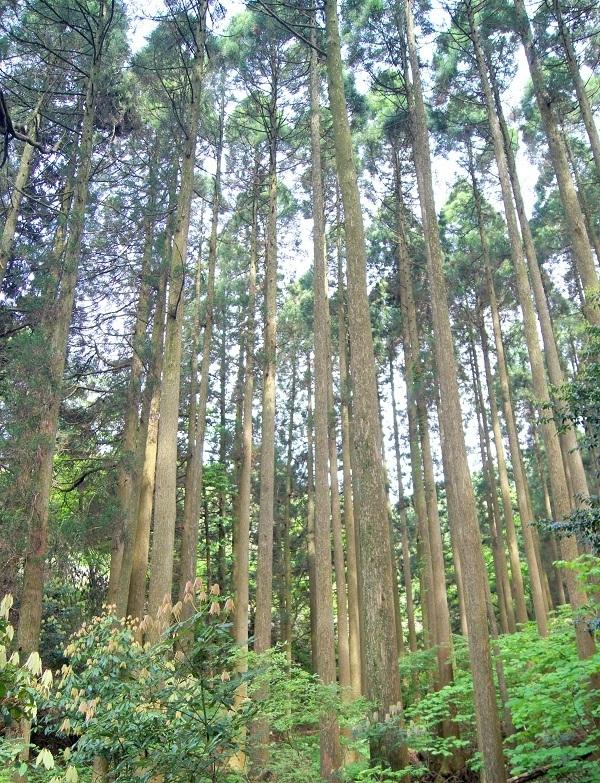 高森殿の杉12 - コピー.JPG