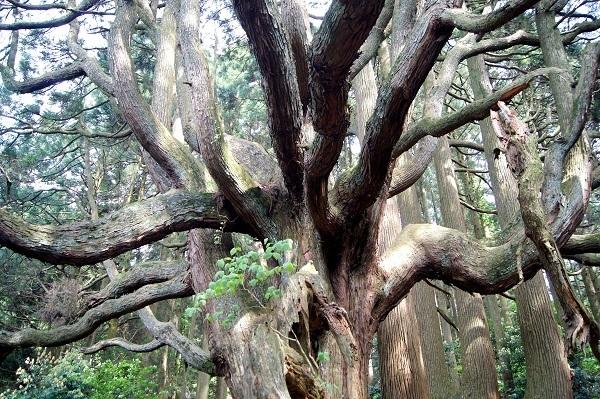 高森殿の杉2 - コピー.JPG