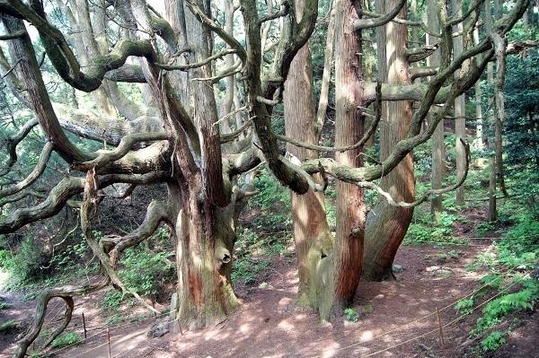 高森殿の杉7 - コピー.JPG