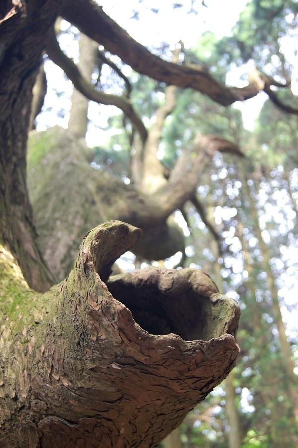 高森殿の杉8 - コピー.JPG