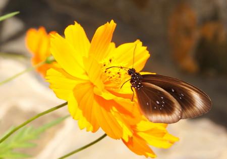 黄花コスモスにとまる花_1.jpg