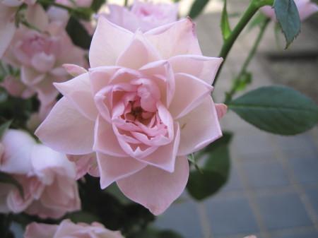 rose2_1.jpg