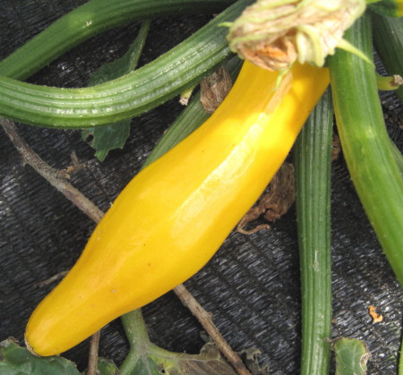 yellowzucchini1.jpg